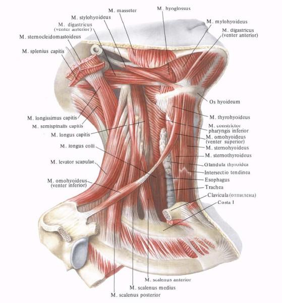 Синдром Лестничной Мышцы фото