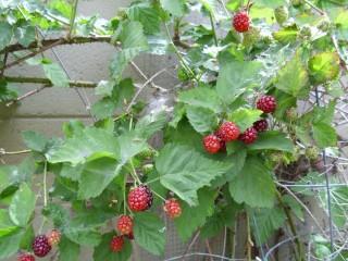 pink blackberries May 2010