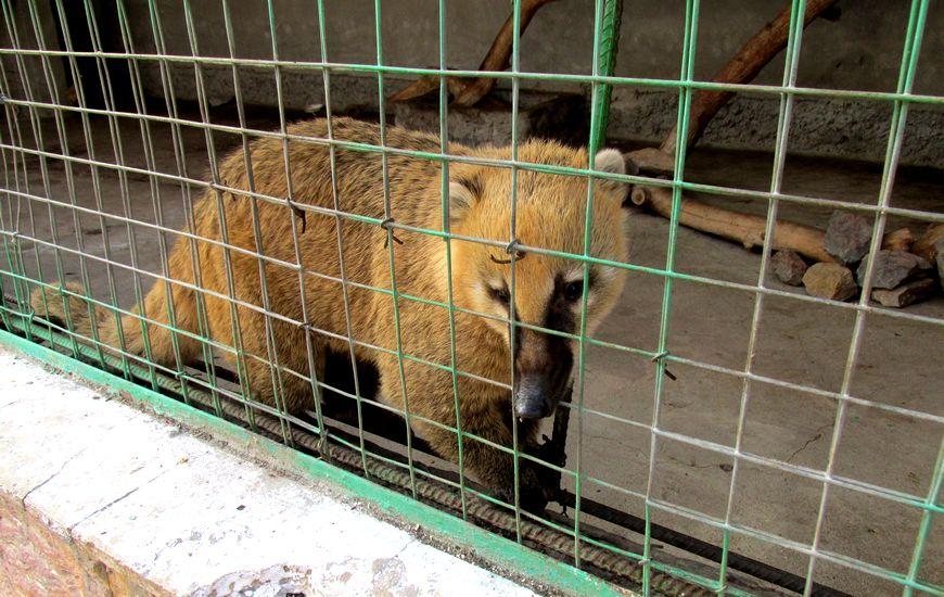 Ташкентский зоопарк - носуха