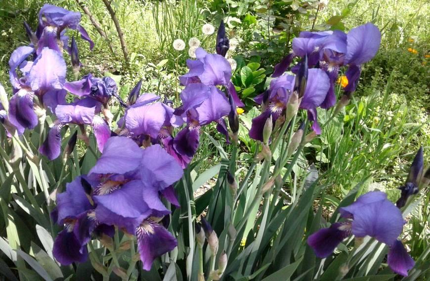 Под окном ирисы цветут