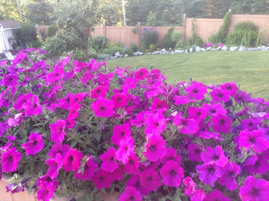 august deck petunia