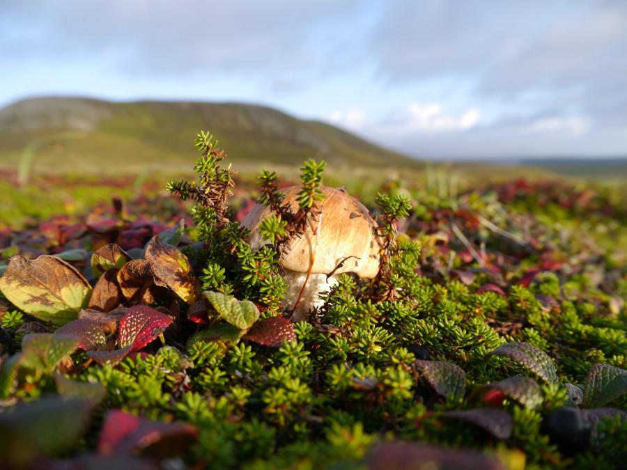 северные грибы фото тундры и этот период государства