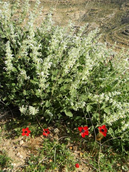 Цветет иудейское нагорье