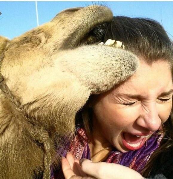 верблюд кусает.jpeg