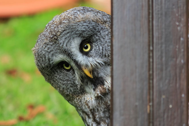 great-grey-owl.jpg