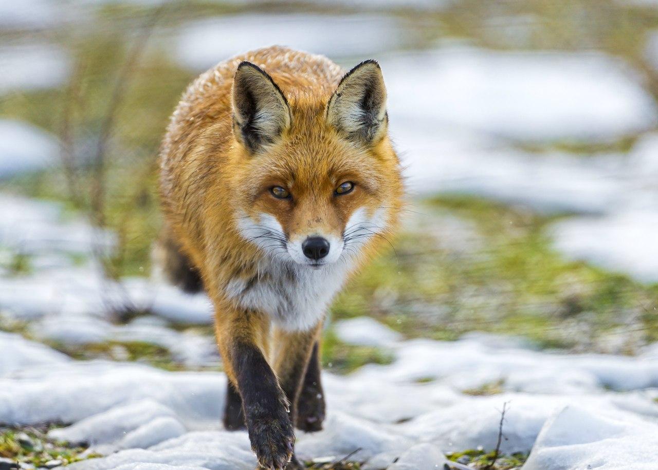 Днем рождения, картинки лисы