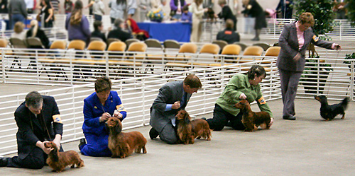 Judging of the long hair dachshunds