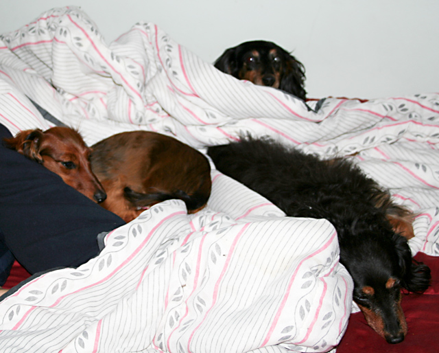 Day 55 - Dogs as Blankets