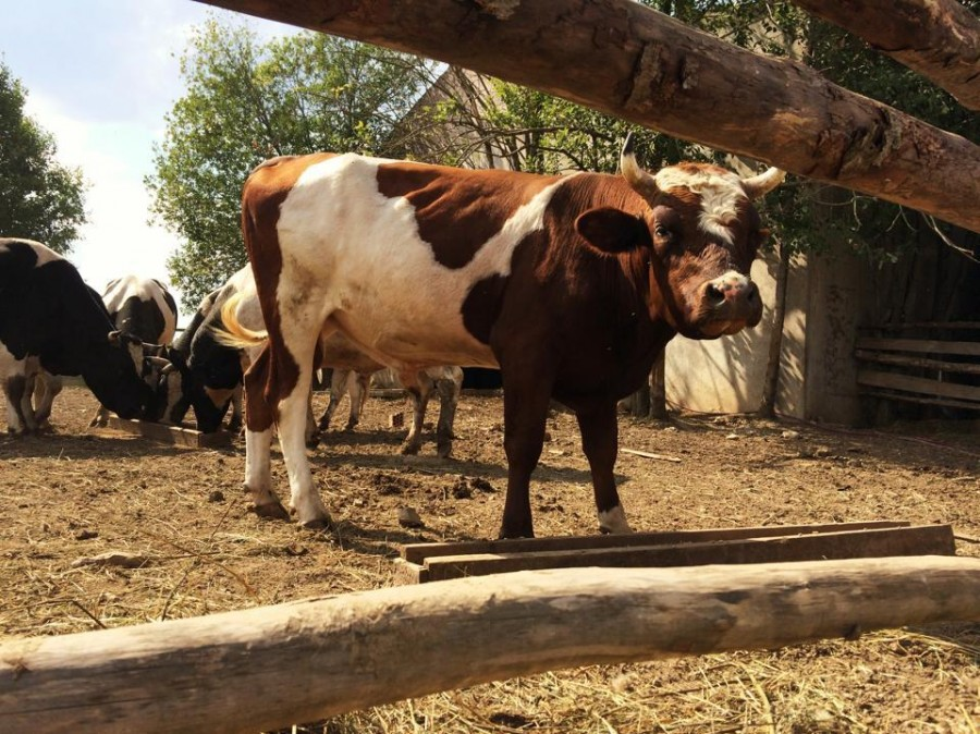 отправить эту сколько стоит теленок у фермера как раскрутить