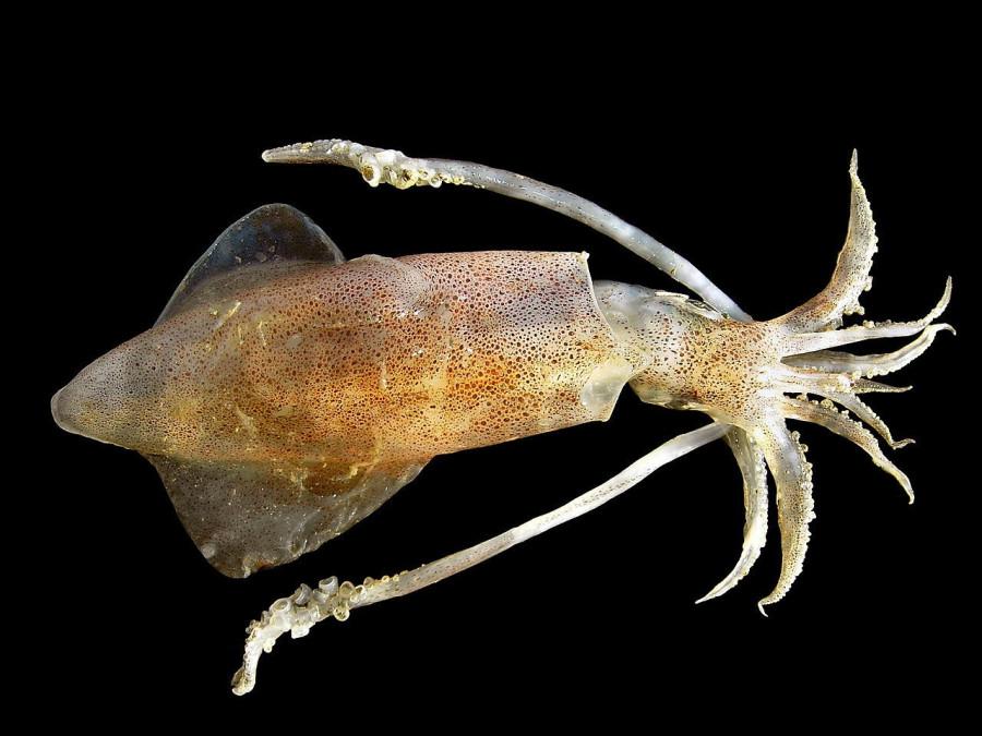 Реинкарнация кальмара