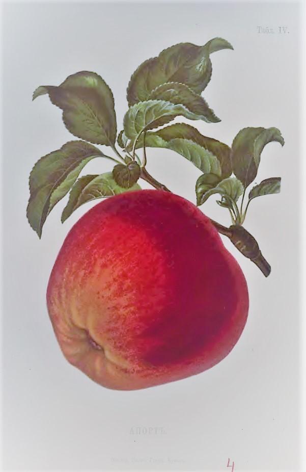Апорт из ботанического атласа Адама Гребницкого, XIX век