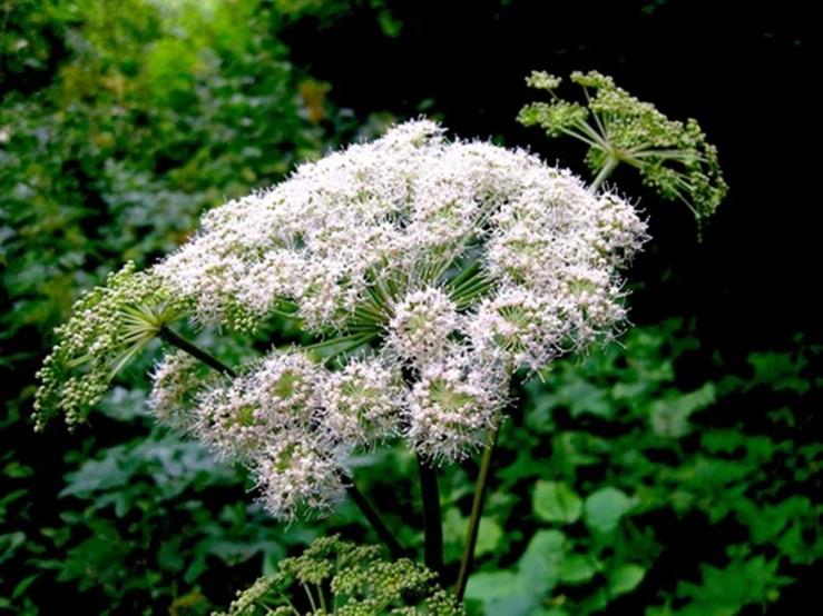 Кашка или Galium verum (клевер ползучий, луговой, кашка белая, кукушкин хлеб и т.п.)