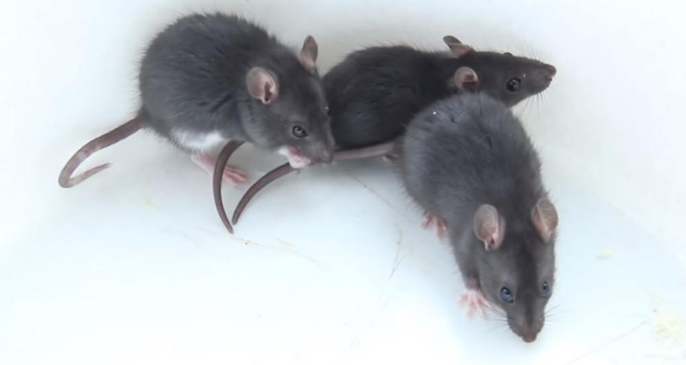 Крысы в ресторане «Армения» на Тверской