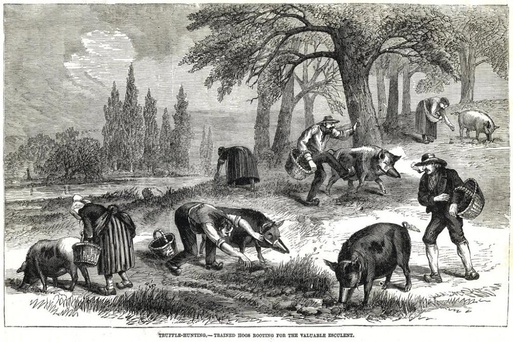 К вопросу о том, кто лучше в поиске трюфелей - собаки или свиньи. Собака сама приносит гриб. А свинье приходится намордник надевать, да еще и сапогом пнуть, чтобы отнять ее любимую пищу.