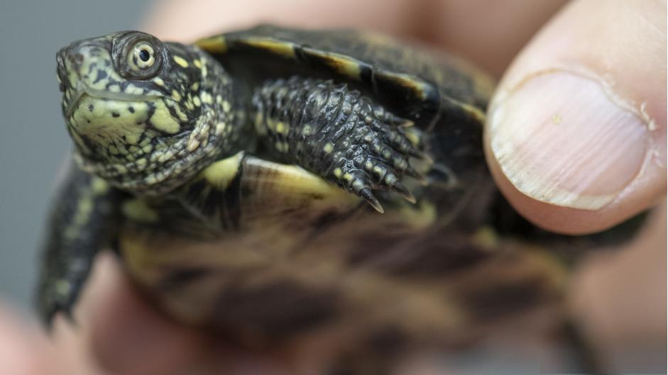 Европейские болотные черепахи, выведенные в рамках программы немецких экологов