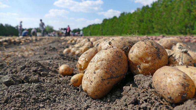 При веганской диете вам необходимо съедать по 750 граммов картофеля в день, чтобы достичь минимально рекомендованной дозы витамина B6 - если вы не получаете его и из других источников