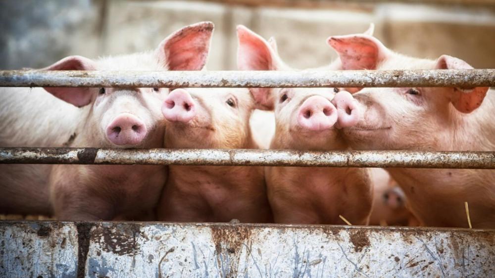 Одна из психологических уловок, чтобы оправдать свою привычку есть мясо - верить в счастливые картинки жизни животных на выдуманной ферме, говорят психологи