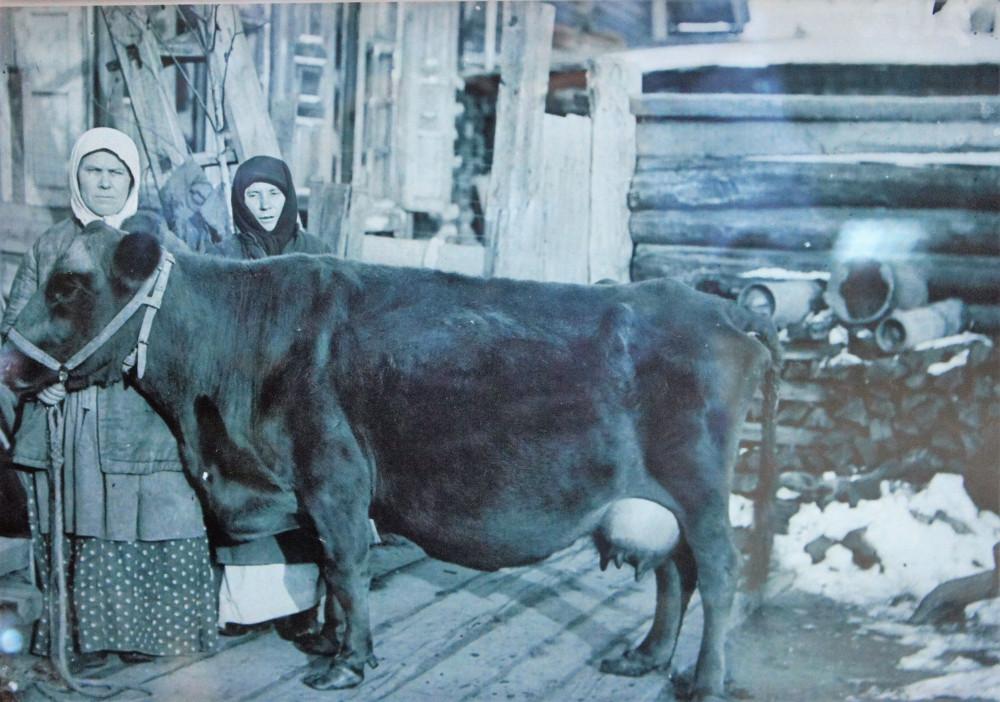 Традиционная якутская порода коров (фото начала XX века)