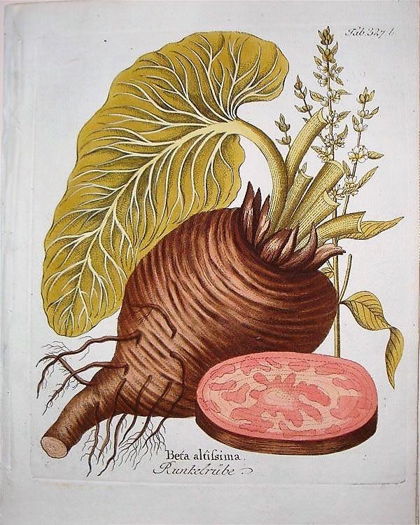 "Иллюстрация: Ferdinand Bernhard Vietz ""Icones Plantarum"", Vienna 1804."