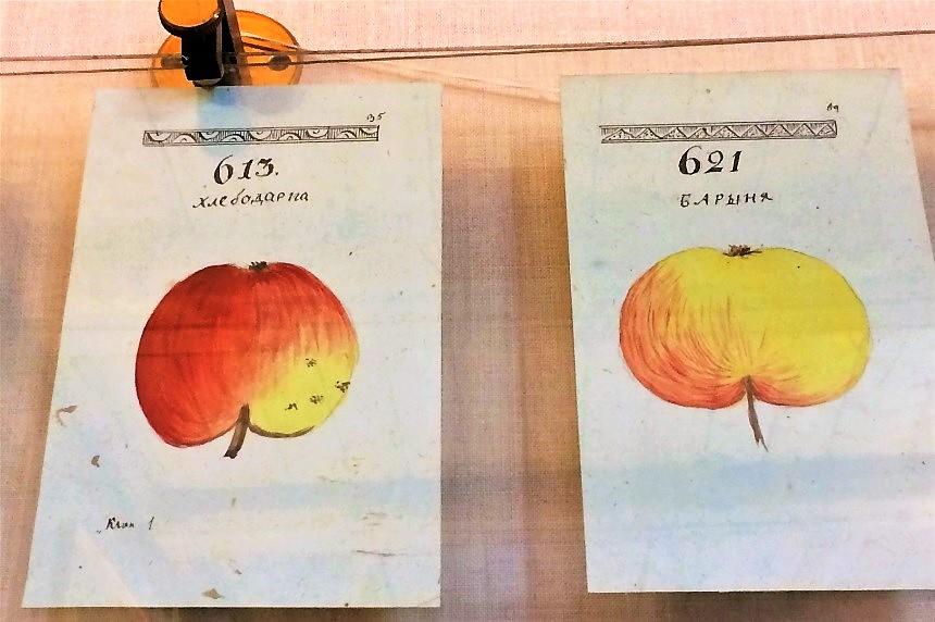 Страницы из альбома А.Т Болотова – родоначальника помологии, науки о яблоках