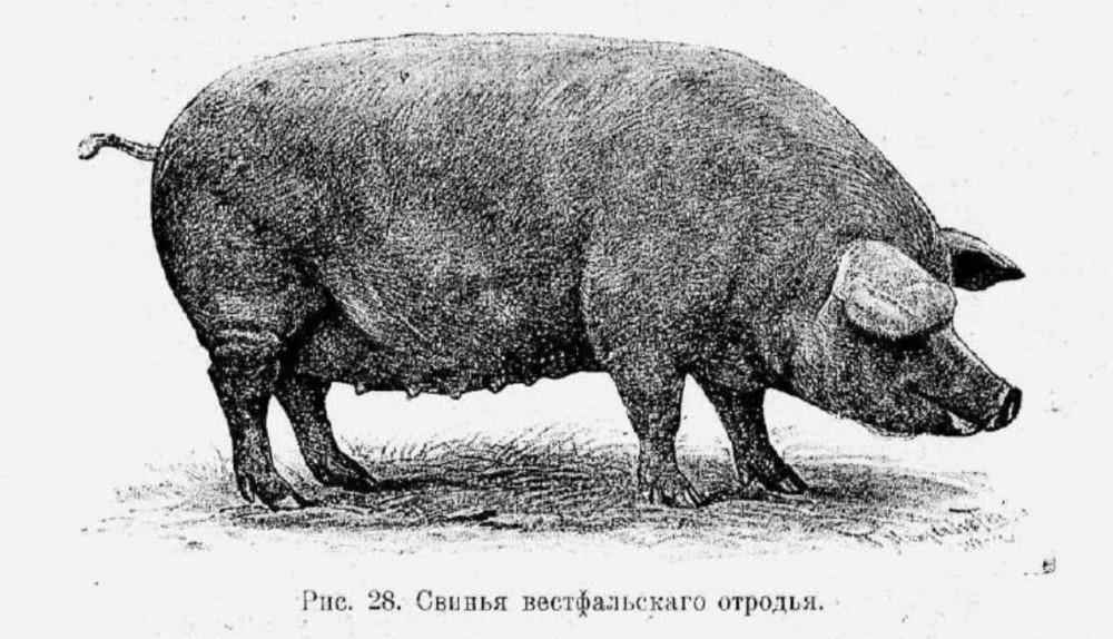 Русская свинья английской не товарищ