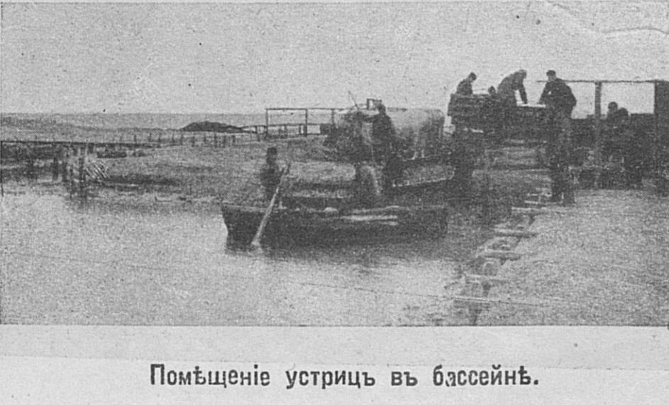 Как в России устриц завели Устрицы