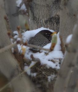 snowy robin_MG_6634