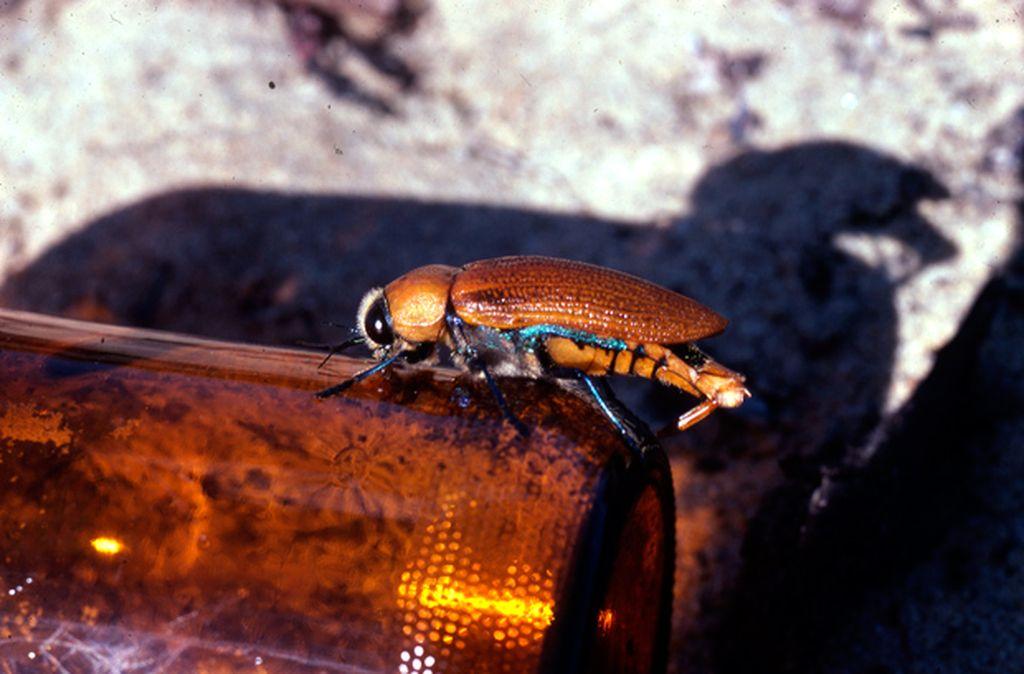 BeetleOnBottleBIG.jpg