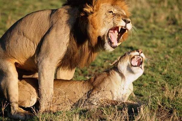 Фото львов секс