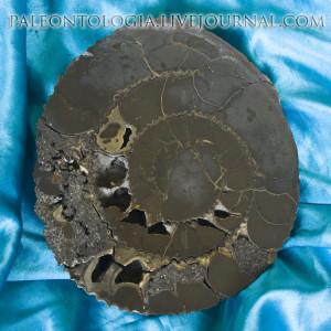 Пиритовый аммонит 0022