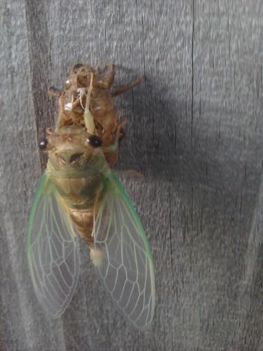 cicada-2016-07-31