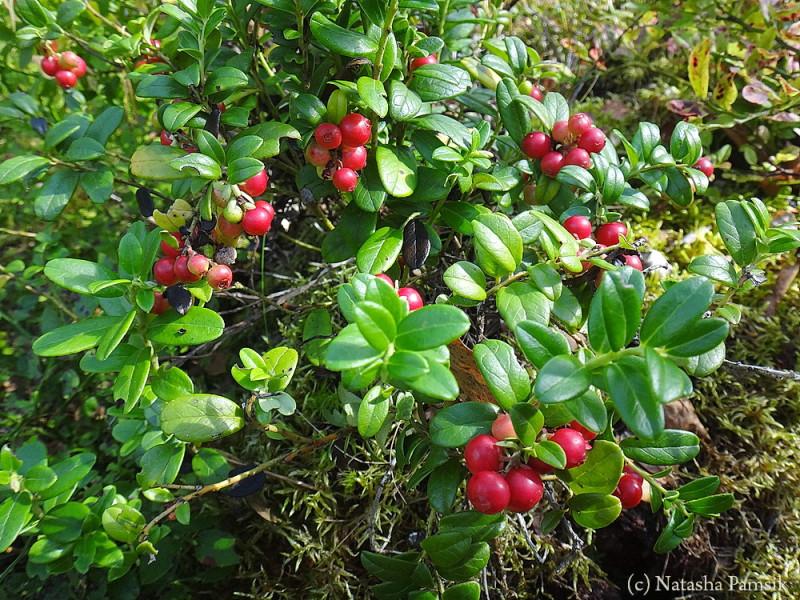 Брусники тоже много в финских лесах. Но она поспевает в сентябре, в августе ещё незрелая.