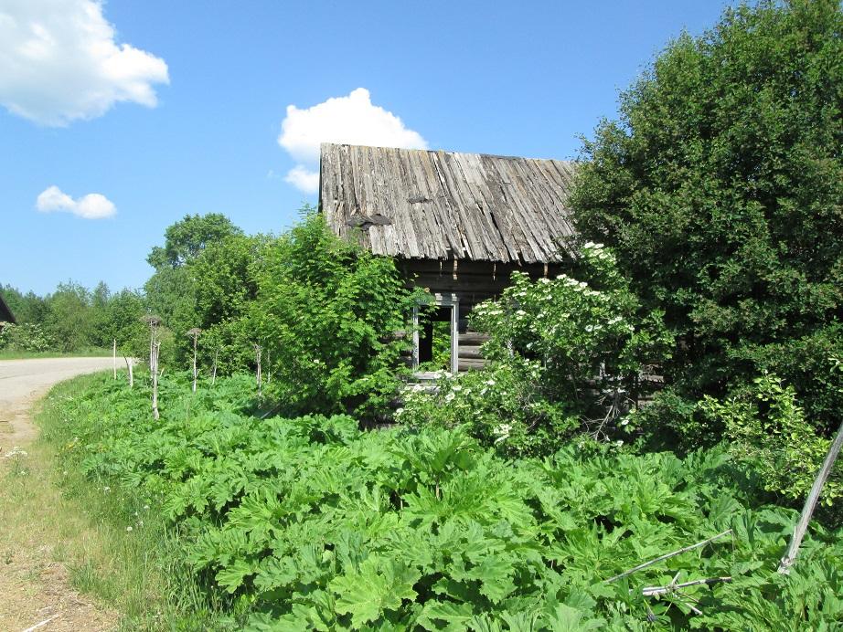 Шабалинские деревни зарастают борщевиком, бурьяном и бытовыми отходами