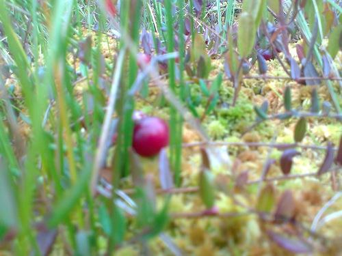 Главное богатство и значение наших болот  ягодники,