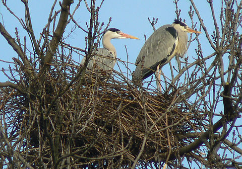 480px-Grey_Herons_(Ardea_cinerea)_-2_on_nest
