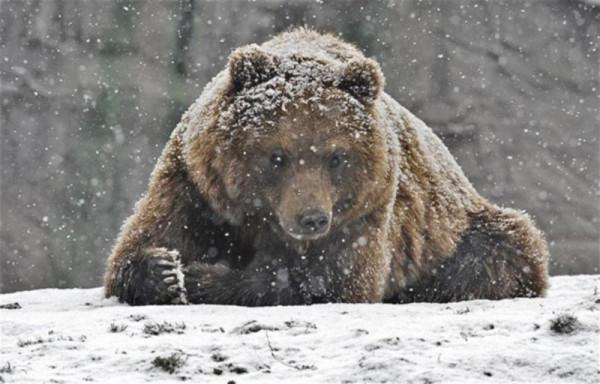 В Якутии после грузовика медведя добивали ломом