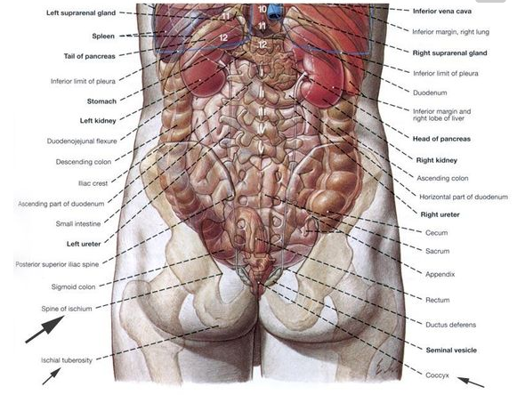 Female human anatomy organs