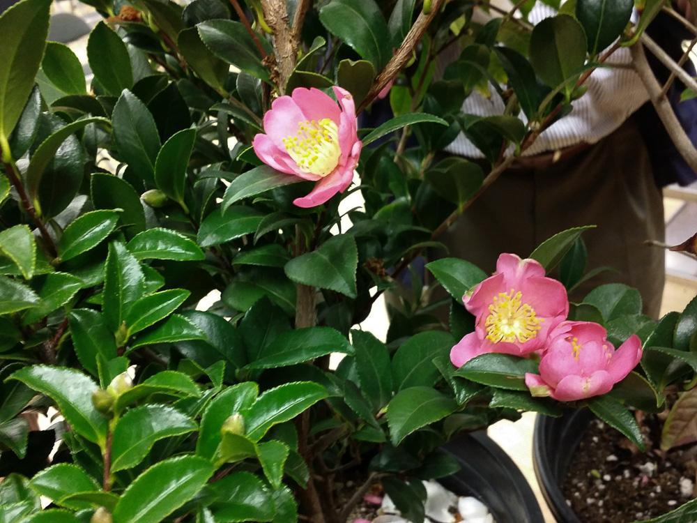 nuccio_seedling_sasanqua_puniceiflora_141117_203257