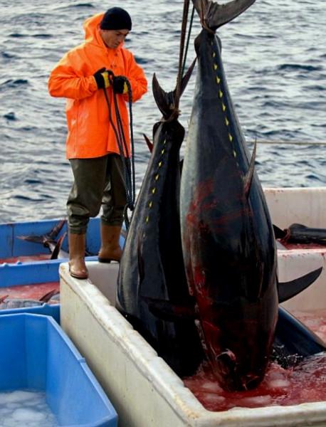 красный-тунец