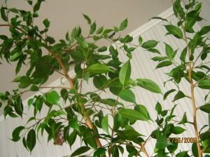 фикус Б. с мелкими листьями