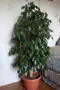 фикус Б. с листьями побольше