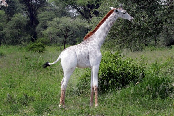 Giraffe Alb  1