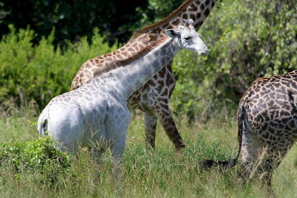 Giraffe Alb  2