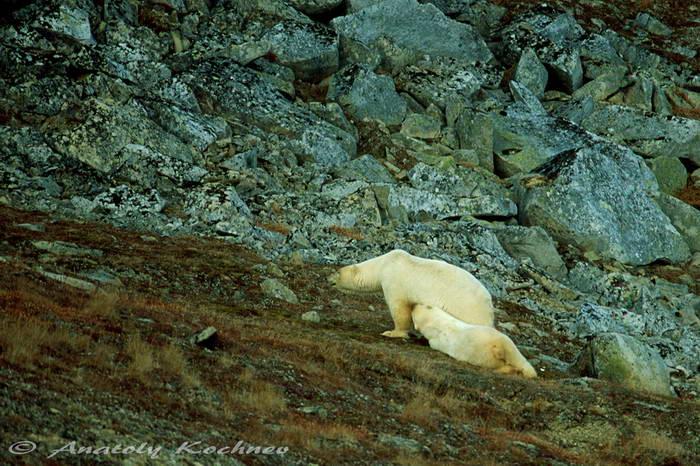 polarbear-9