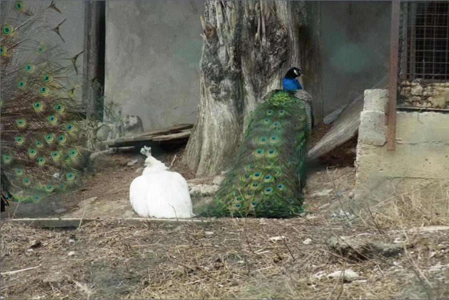1Жар-птицы