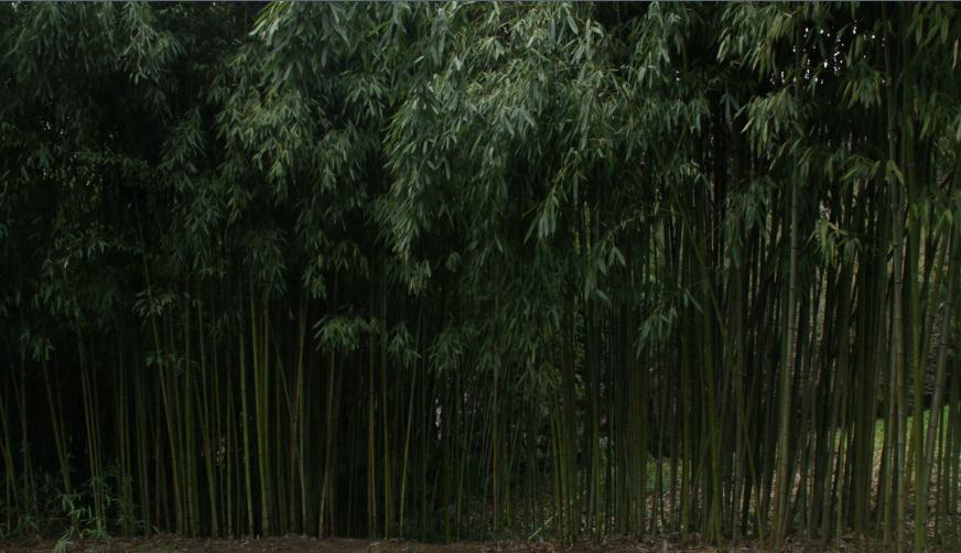1Не баобаб, а бамбук!