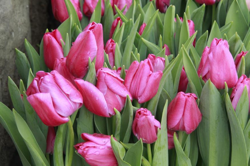 4Свежие тюльпаны прямо вдоль тротуаров