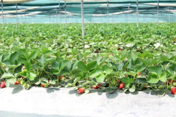 В Крыму ожидается рекордный урожай клубники