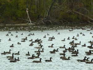 Canandaigua Lake NY Canadian Geese