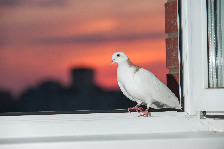 Картинка голубь за окном